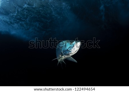 Large tarpon fish on dark background in the Bahamas - stock photo