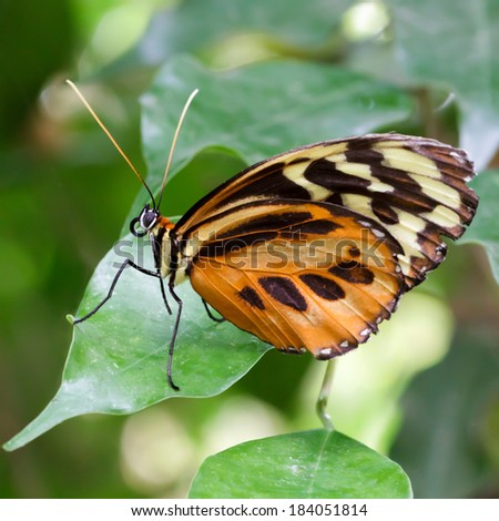 Large Tiger Butterfly (lycorea cleobaea)
