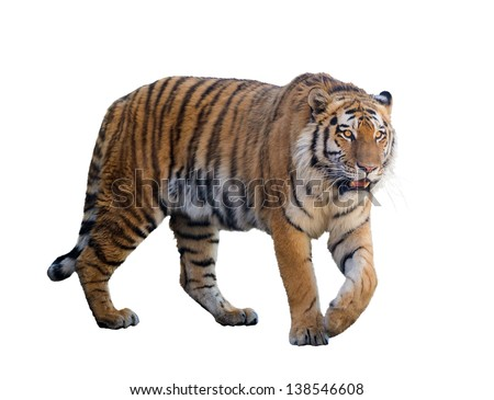 large tiger isolated on white background