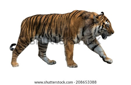 large tiger isolated on white background - stock photo