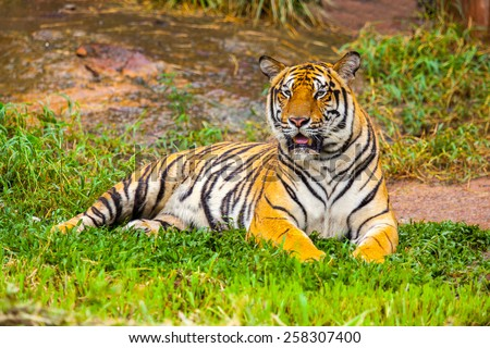 Large tiger lying on the lawn. - stock photo