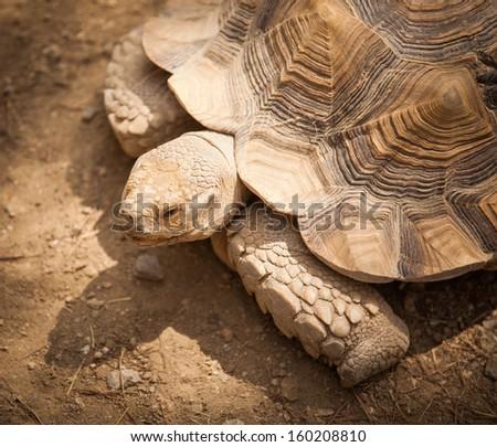 Large tortoise - stock photo