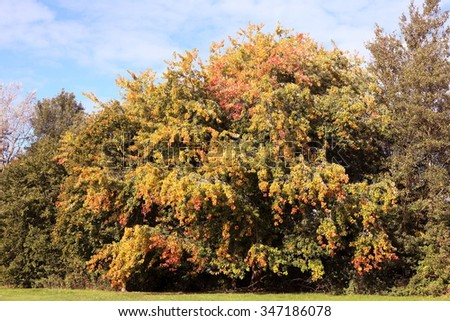 Large tree changing color in Autumn. - stock photo