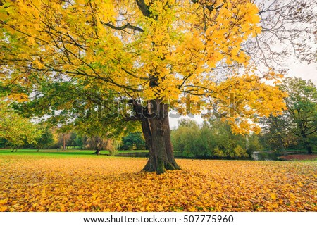Large tree in a park in autumn with yellow autumn maple leaves covering the ground in the fall