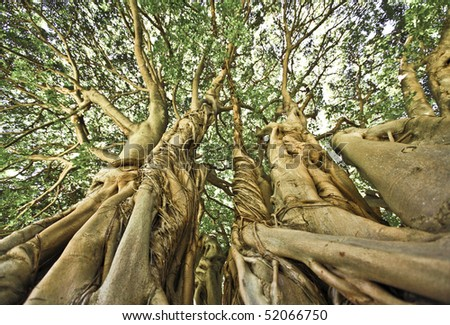 Large Tree in Kirstenbosch Gardens, Cape Town - stock photo