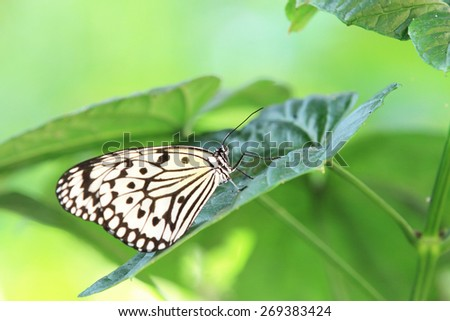 Large Tree Nymphs butterfly and green leaf,a beautiful butterfly on the green leaf in garden in spring,Paper Kite butterfly,Rice Paper butterfly  - stock photo