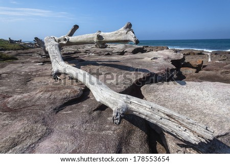 Large Tree Rocks Nature Power Large Tree from river storm floods waves ocean washed onto rock shelf landscape, power of Nature. - stock photo