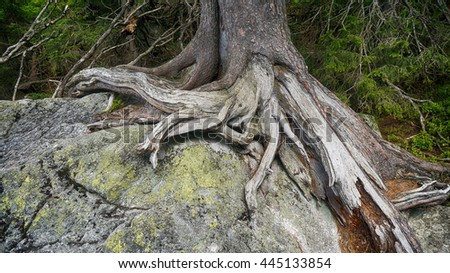 Large tree roots on stones in forest  - stock photo