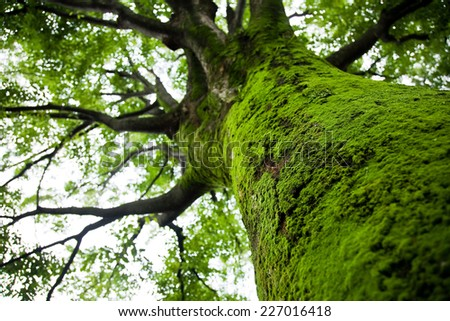 Large tree with green moss on the trunk