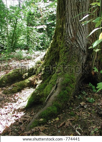 Large tree with moss growing on the