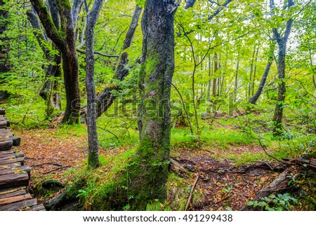 Large trees in a forest in autumn/ Plitvice lakes/ Croatia/parks