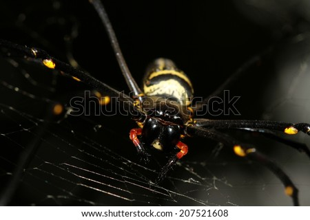 Large tropical spider - nephila (golden orb) in the web  - stock photo