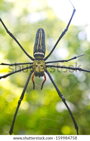 Large tropical spider - nephila (golden orb) on web - stock photo