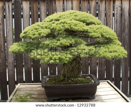 Large Trunk Bonsai - stock photo