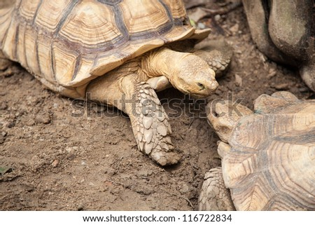 Large turtle breeding areas within the zoo. The style and color of the carapace is unusual. - stock photo