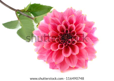 Large variety of pink dahlia isolated on a white background - stock photo