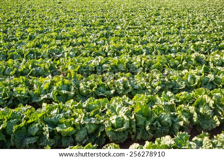 Large vegetable plantation with produce ready to be picked