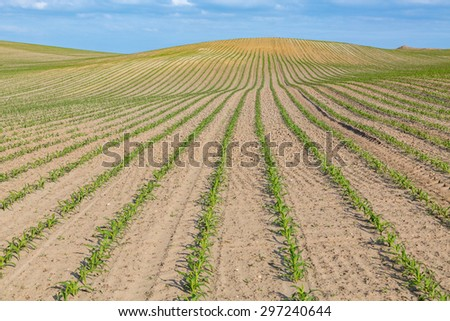 Large view on the young corn field - stock photo