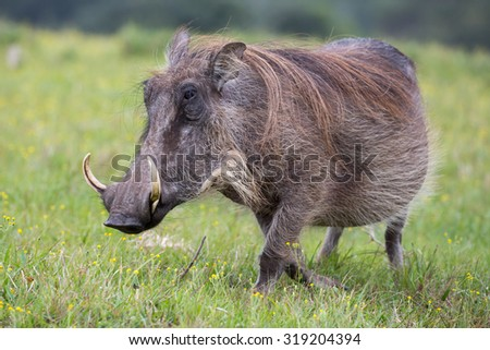 Large warthog with tusks and coarse shaggy hair - stock photo