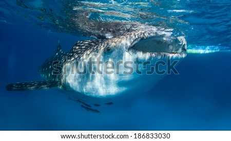 Large whale shark with remora near the surface