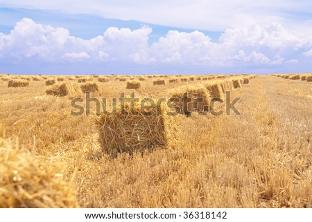 large wheat field and blue sky in Krimea - stock photo
