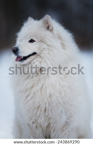 Large white dog sits and stares into the distance - stock photo
