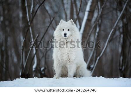 Large white dog sitting on the snow - stock photo