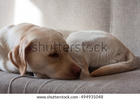 large white dog sleeps on a gray couch