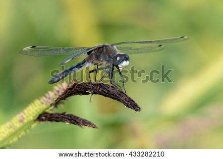 Large white-faced darter or yellow-spotted whiteface (Leucorrhinia pectoralis) male on the reeds of the pond