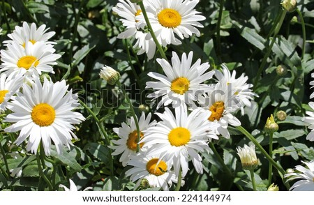 large white flower daisies with pure white petals and yellow corolla - stock photo