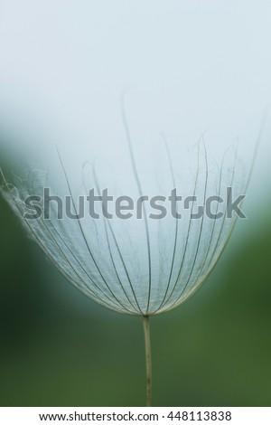 Large white fluffy dandelion flower. Distant relative of dandelion - Salsify. Tragopogon flower. Family  sunflower family. Seeds are borne in fluffy globe. Fragile fluff blowball - stock photo