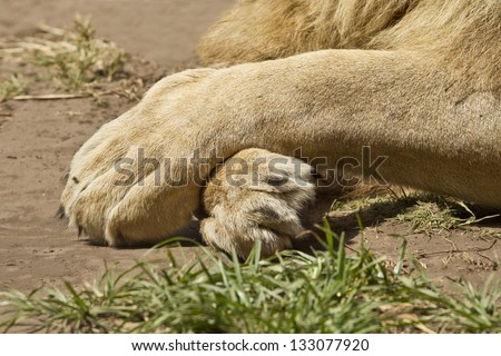 large white lion's paws in a crossed formation while lying in the sun - stock photo
