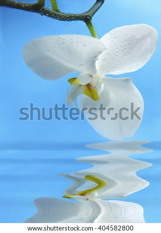 large white orchid with drops of water on a branch and flower reflected in water on a blue background is blurred.  - stock photo