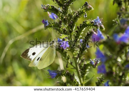 Large White (Pieris brassicae) butterfly feeding on a purple flowering plant