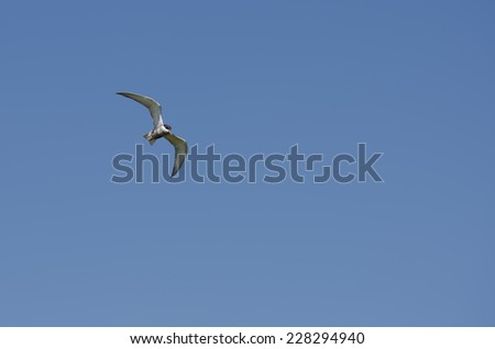 Large white seagull fishing in the summer sun - stock photo