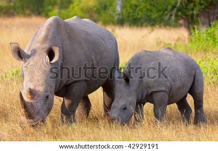 Large white (square-lipped) rhinoceros (Ceratotherium simum) with calf eating in the nature reserve in South Africa - stock photo
