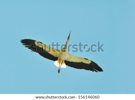 large white stork flying over