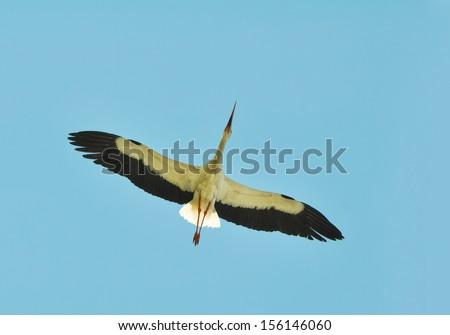 large white stork flying over - stock photo