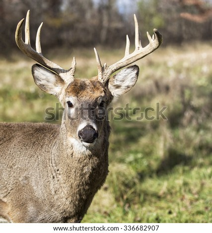 Large white-tailed deer buck; close up head and shoulders