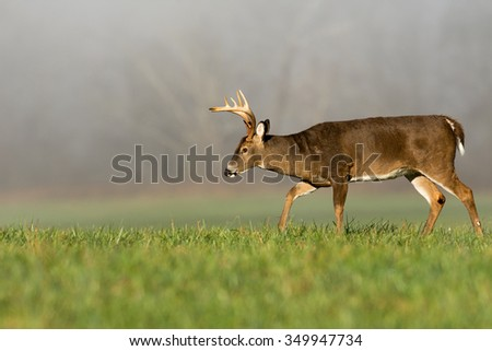 Large white-tailed deer buck in an open meadow on a foggy morning in Smoky Mountain National Park