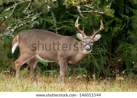 Large white-tailed deer buck in Smoky Mountain National Park - stock photo