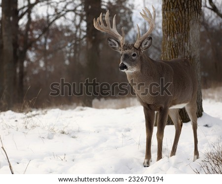 Large white-tailed deer buck in snow.  Autumn in Wisconsin - stock photo