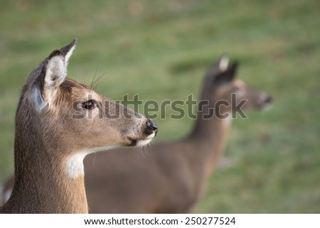 Large white-tailed deer doe in an open meadow on a winter day in Jefferson Barracks National Cemetery near St. Louis, Missouri - stock photo