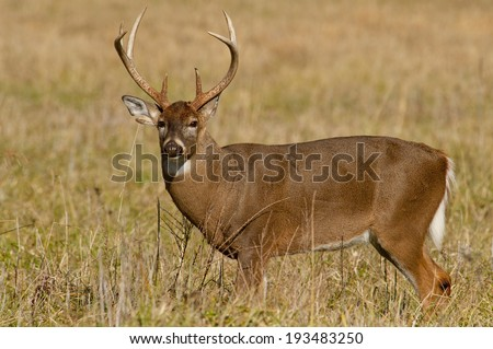 Large white tailed deer in The Great Smoky Mountains. - stock photo