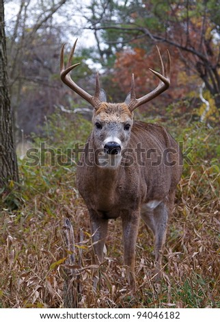 Large Whitetail Buck Deer, Close-up