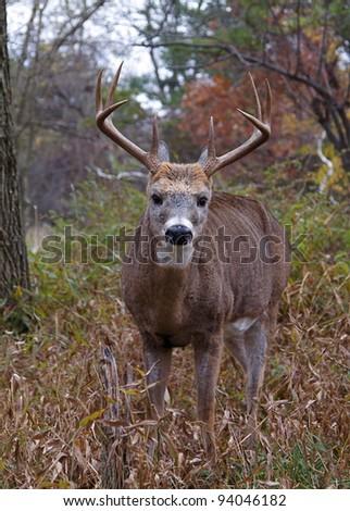 Large Whitetail Buck Deer, Close-up - stock photo