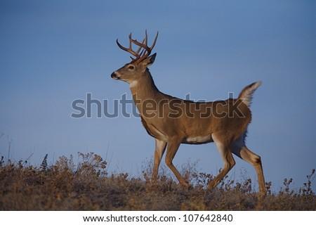 Large Whitetail Buck Trotting along Ridge Top - stock photo
