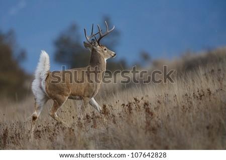 Large Whitetail Buck walking with tail raised - stock photo