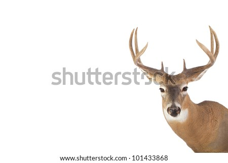 Large whitetail buck with short summer coat isolated on white background