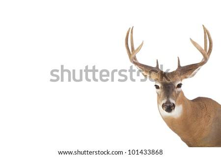 Large whitetail buck with short summer coat isolated on white background - stock photo